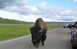 Buffalo Jam in the road at yellowstone